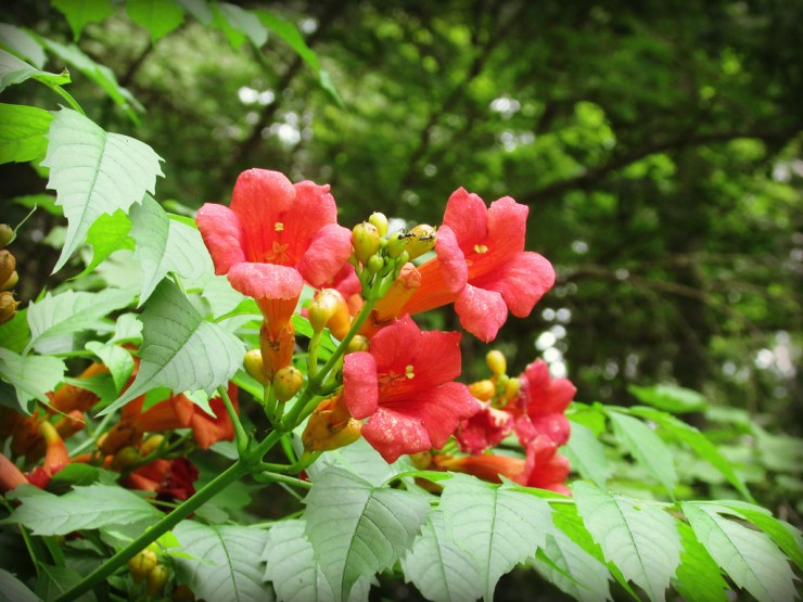 trumpet vines binghamton august cancer blog essential oils blogger